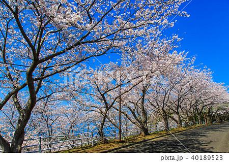 松島 桜坂のさくら 【長崎県西海市】 40189523