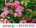 花 バラ 薔薇の写真 40195392