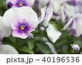 ビオラ スミレ科 花の写真 40196536