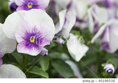 おしゃれな花ビオラ 40196536