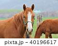 サラブレッド 馬 40196617