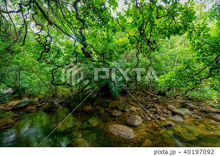 西表島のジャングル 40197092