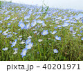 ネモフィラの花  40201971