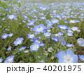 ネモフィラの花 40201975