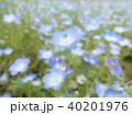 ネモフィラの花 40201976