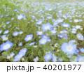 ネモフィラの花 40201977