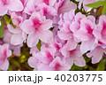 ツツジ 花 植物の写真 40203775