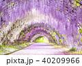 河内藤園 トンネル 藤の写真 40209966