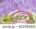 河内藤園 トンネル 藤の写真 40209968