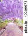 河内藤園 トンネル 藤の写真 40209973