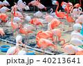 鳥 フラミンゴ 動物の写真 40213641