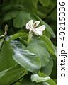 ホオノキの花 40215336