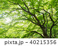 新緑 楓 木の写真 40215356