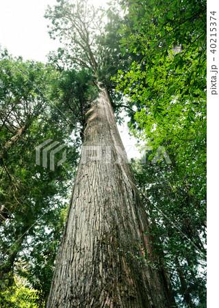 大きな杉の木の森 40215374