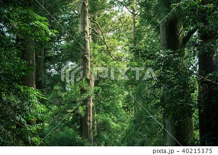 大きな杉の木の森 40215375