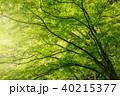 新緑 楓 木の写真 40215377