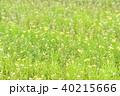 ナズナ 菜の花 春の写真 40215666