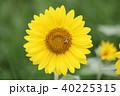 ヒマワリ 花 アップの写真 40225315