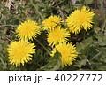 タンポポ セイヨウタンポポ 花の写真 40227772