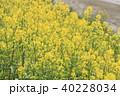 菜の花 菜花 春の写真 40228034