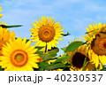 晴れ ヒマワリ 花の写真 40230537