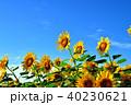 晴れ ヒマワリ 花の写真 40230621