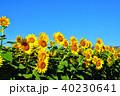 晴れ ヒマワリ 花の写真 40230641