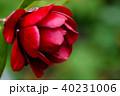 ツバキ・黒椿 40231006
