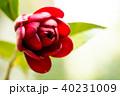 ツバキ・黒椿 40231009