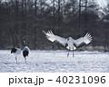 タンチョウ 着地 鶴の写真 40231096