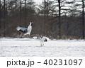 鶴 踊る 冬の写真 40231097