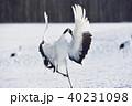 タンチョウ 着地 鶴の写真 40231098