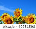晴れ ヒマワリ 花の写真 40231598