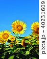 晴れ ヒマワリ 花の写真 40231609