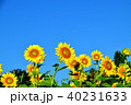 青空 晴れ ヒマワリの写真 40231633