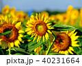 晴れ ヒマワリ 花の写真 40231664