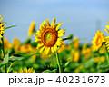 晴れ ヒマワリ 花の写真 40231673