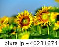 晴れ ヒマワリ 花の写真 40231674