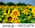 晴れ ヒマワリ 花の写真 40231676