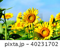 晴れ ヒマワリ 花の写真 40231702