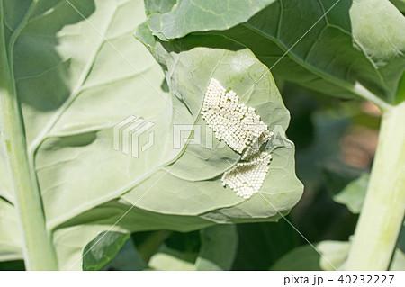 ヨトウムシ(ヨトウガ)の卵 40232227
