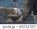 黒鯛 釣 魚の写真 40232307
