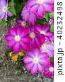 植物 花 クレマチスの写真 40232498