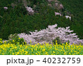 桜 菜の花 大原の里の写真 40232759