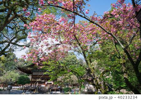 京都 平野神社の八重桜 40233234