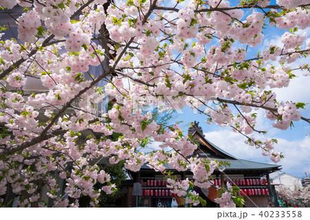京都 千本えんま堂の桜 40233558