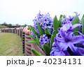 ヒアシンス 紫 40234131