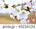 河川敷の桜 40234134
