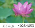 ピンク 花 植物の写真 40234853
