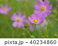 コスモス 秋 植物の写真 40234860